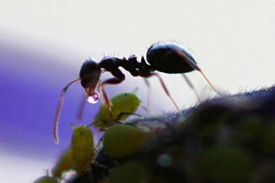ant_honeydew